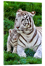 Akrylbillede  White tiger mother with child - Gérard Lacz