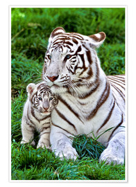 Premium-plakat White tiger mother with child