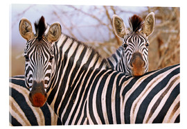 Akrylbillede  Zebra friendship, South Africa - wiw