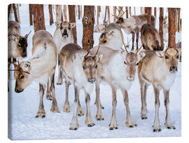 Lærredsbillede  Reindeer in winter in Lapland