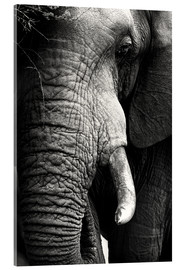 Akrylbillede  Elephant in the portrait - Johan Swanepoel
