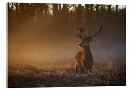 Akrylbillede  Stag in autumn sunrise - Alex Saberi