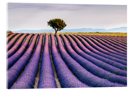 Akrylbillede  Lavender field and tree at sunset, Provence - Matteo Colombo