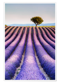 Premium-plakat Tree in a lavender field, Provence