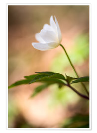 Premium-plakat Wood anemone - blooming with soft background