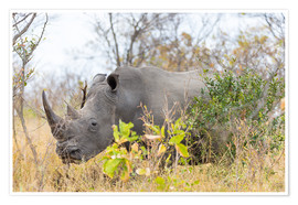 Premium-plakat Rhino grazing in the bush, Kruger National Park, South Africa