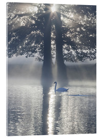 Akrylbillede  Swan on misty lake - Alex Saberi