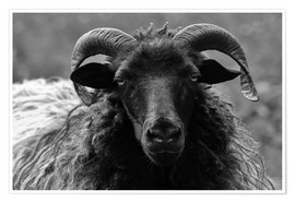 Premium-plakat  Grey Heidschnucke - Sheep - Martina Cross