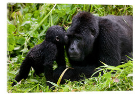 Akrylbillede  Infant mountain gorilla with mother