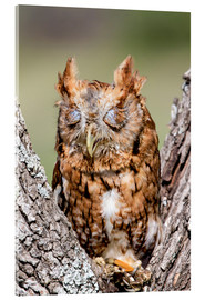 Akrylbillede  Screech-Owl eating grasshopper