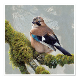 Premium-plakat  Eurasian Jay sits on a mossy branch - Ikon Images