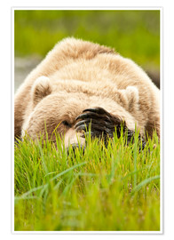 Premium-plakat Brown bear with paw on his head