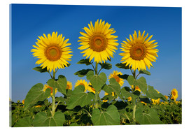 Akrylbillede  Common Sunflowers (Helianthus annuus) - Radius Images