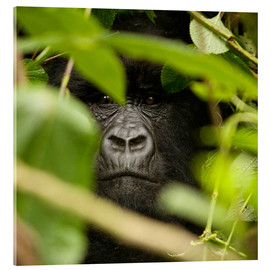 Akrylbillede  A silverback gorilla in the undergrowth - John Warburton-Lee