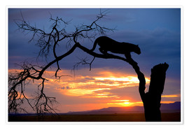 Premium-plakat Climbing Leopard in the sunset