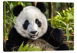 Lærredsbillede  Portrait of a Chengdu panda - Jim Zuckerman