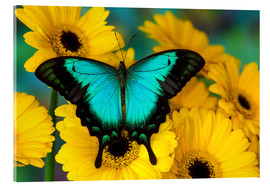 Akrylbillede  Sea green swallowtail - Darrell Gulin