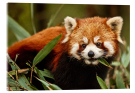 Akrylbillede  Red panda in Wolong - Jim Zuckerman