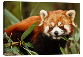 Lærredsbillede  Red panda in Wolong - Jim Zuckerman