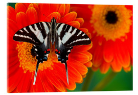 Akrylbillede  Knight butterfly on gerbera - Darrell Gulin