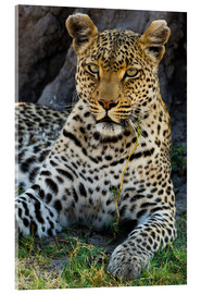 Akrylbillede  Leopard resting in the shade - Sergio Pitamitz