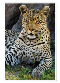 Premium-plakat  Leopard resting in the shade - Sergio Pitamitz