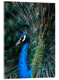 Akrylbillede  Indian Peacock - Andrew Michael
