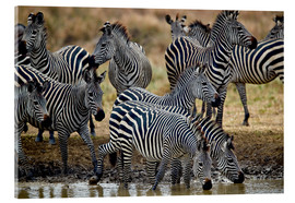 Akrylbillede  Zebra herd at the waterhole - James Hager