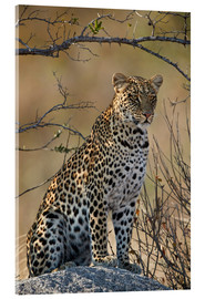 Akrylbillede  Leopard perched on its rock - James Hager