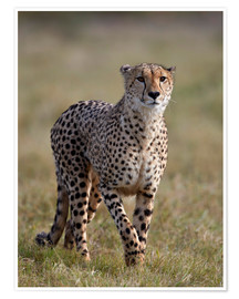 Premium-plakat Watchful cheetah