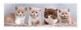 Premium-plakat British Shorthair kitten