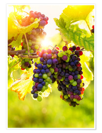 Premium-plakat Bunch of black grapes on the vine